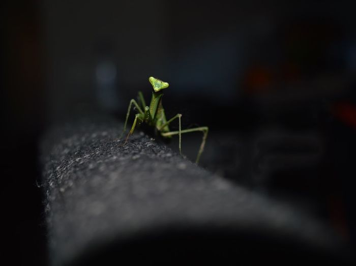 Praying Mantis Black Background Indoors Insect Green Color Australia 🇦🇺