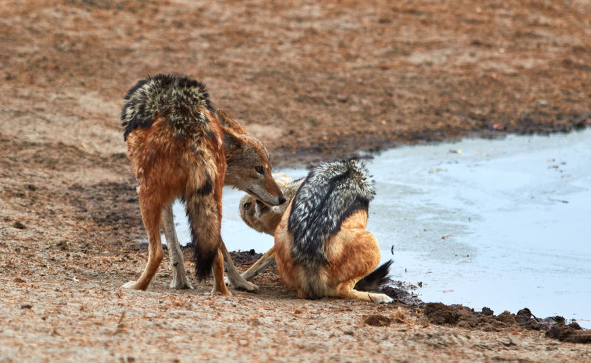 Two black-backed jackals playing with each other