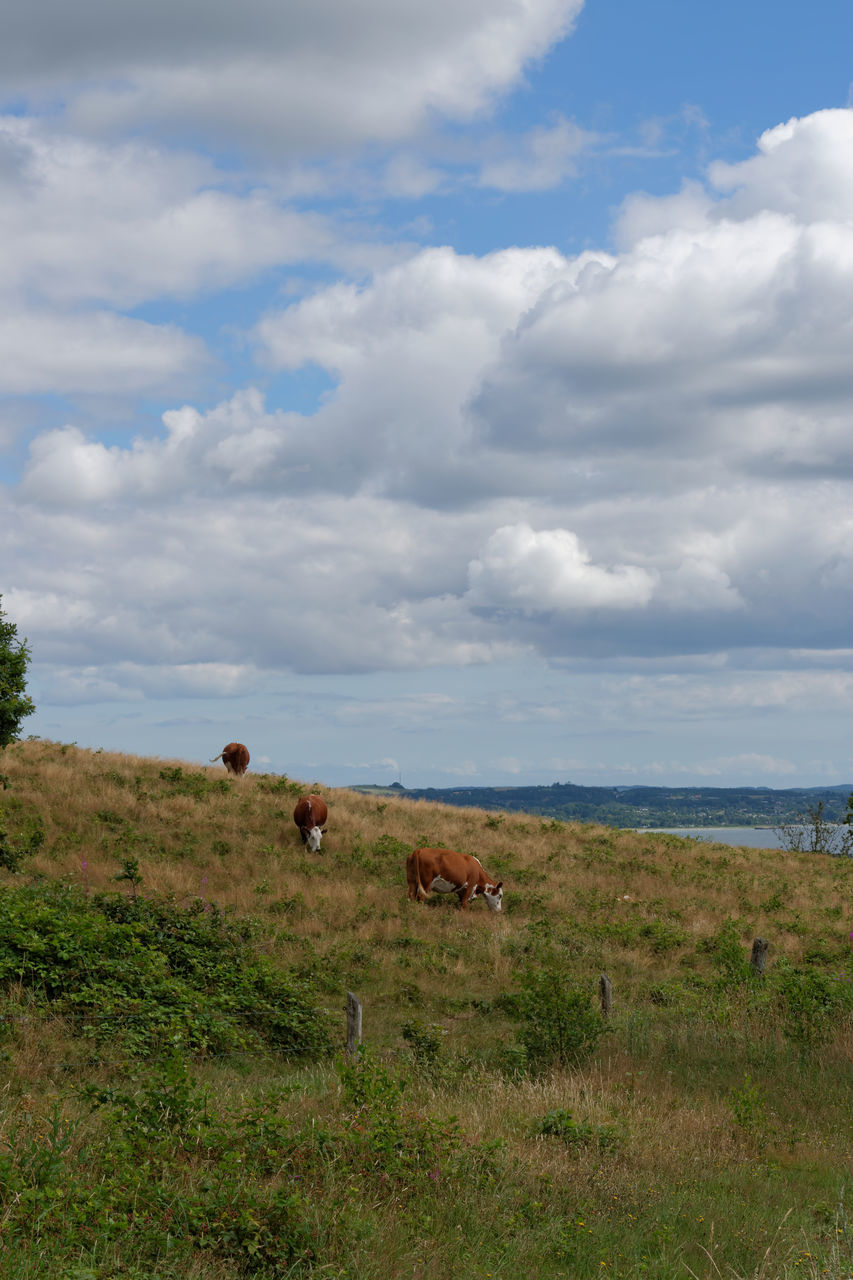 sky, cow, mammal, grass, cloud - sky, field, nature, landscape, cattle, animal themes, no people, day, farm animal, outdoors, domestic animals, beauty in nature