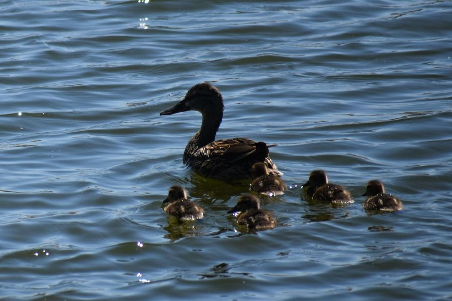 Animals In The Wild Backgrounds Lake Mother And Babies Mothering No People Swimming Togetherness Water Bird Young Bird