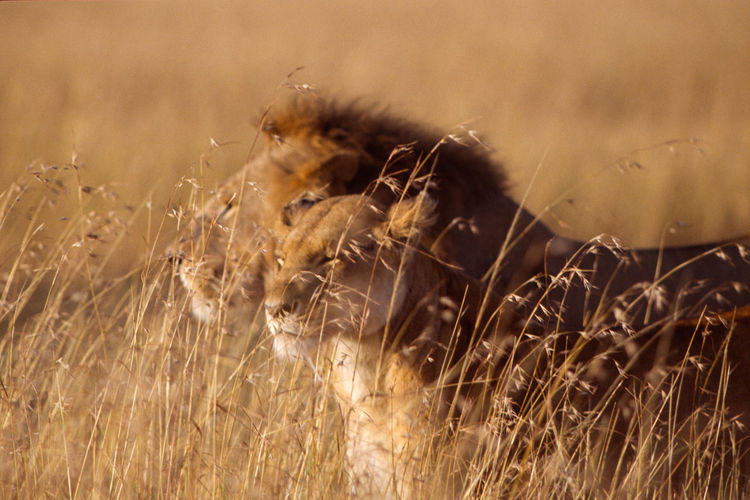 Close-up of lion couple in sunset light in masai mara.