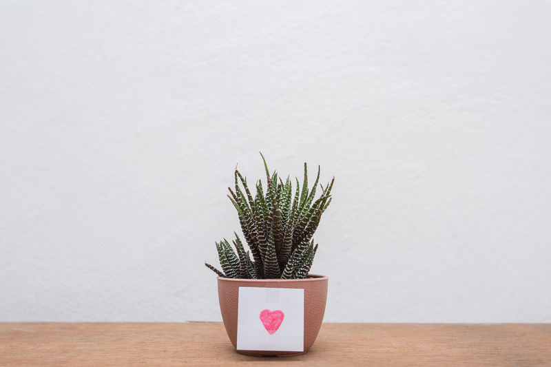beauty cactus
