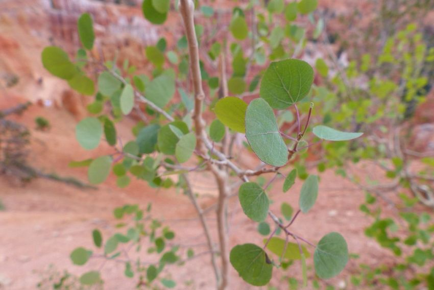Bryce Canyon Does anybody know what kind of Tree this is ?