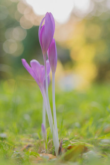 Close-up of purple crocus flower on field