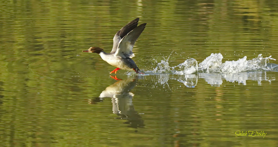 Animal Themes Animal Wildlife Animals In The Wild Beauty In Nature Bird Day Duck Flying Lake Nature No People One Animal Outdoors Reflection Spread Wings Swimming Water Waterfront