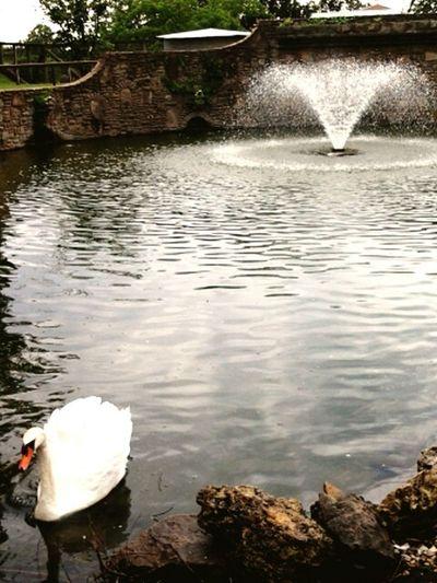 Swan Water Fountain Beautiful Nature Zoo Animals