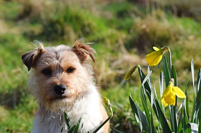 Animal Themes Outdoors Nature Day Close-up Jack Russell Terrier Daffodils Collection Yellow And Green Flower Photography Dogwalk Dog Photography Domestic Animals, Pets, Animal Themes