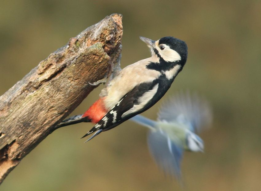 Bird Animals In The Wild Animal Themes One Animal Animal Wildlife Perching No People Focus On Foreground Day Nature Outdoors Close-up Tree Woodpecker Woodpecker In Tree Grote Bonte Specht