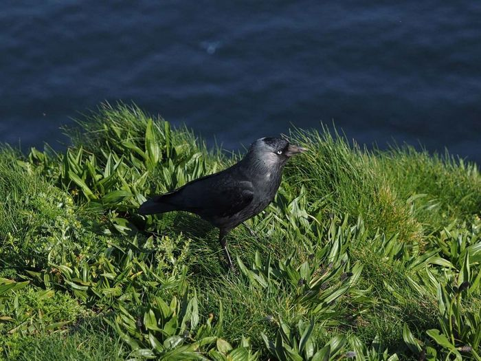 Jackdaw Bempton cliffs uk