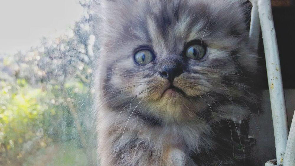 The little Lion, rawwwrrr...! Kitten Cat Kitty Cute Pets Cute♡ Animals Cats Persian Angoracat