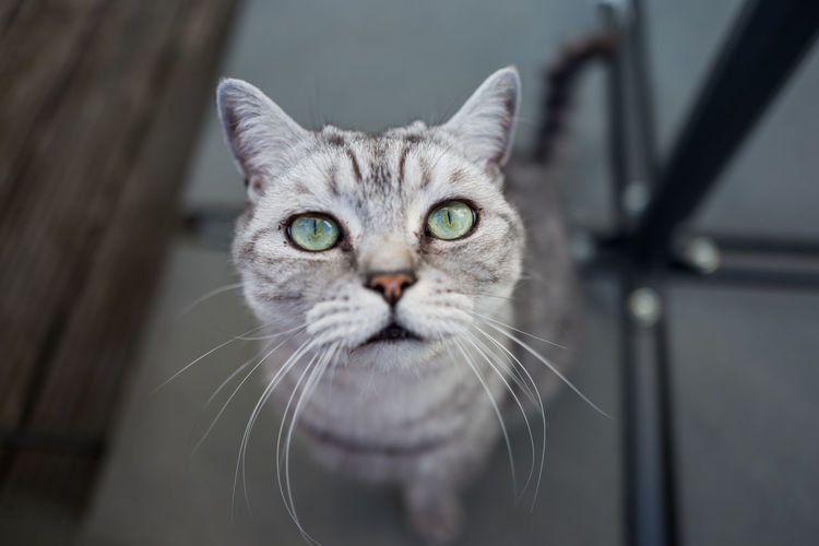 Mclovin Animal Themes British Shorthair Close-up Day Domestic Animals Domestic Cat Feline Focus On Foreground Indoors  Looking At Camera Mammal No People One Animal Pets Portrait Whisker