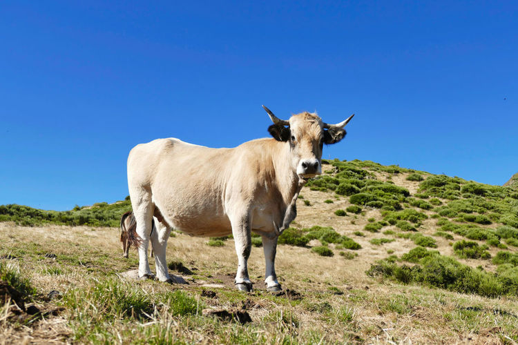 Portrait of a cow of french breed aubrac against blue sky
