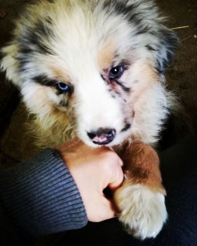 We have a new entry❤ Australianshepherd Itsagirl Doggy ♥ Puppy NewEntry🐾 Human Hand Pets Portrait Dog Looking At Camera Friendship Puppy Young Animal