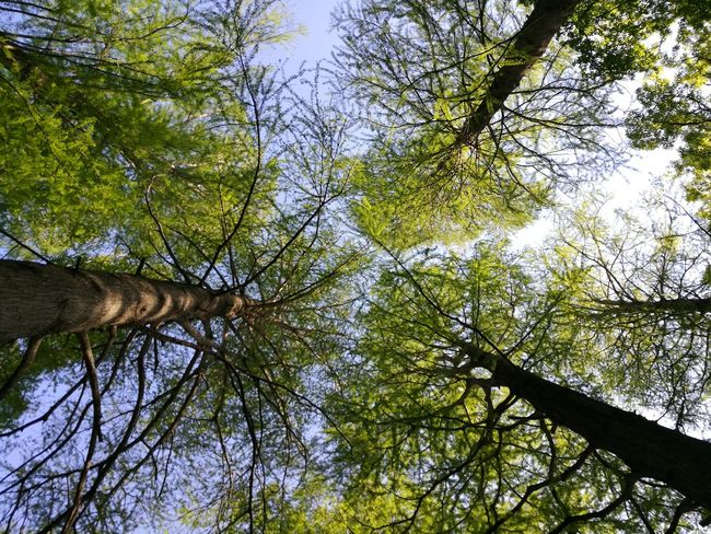 Tree Low Angle View Nature Forest Branch Growth Beauty In Nature Day Outdoors Green Color Sky No People Tranquility Tree Trunk Japanese Garden Water Park Parks Nature Photography Foest🌳 Foest Nature Tree
