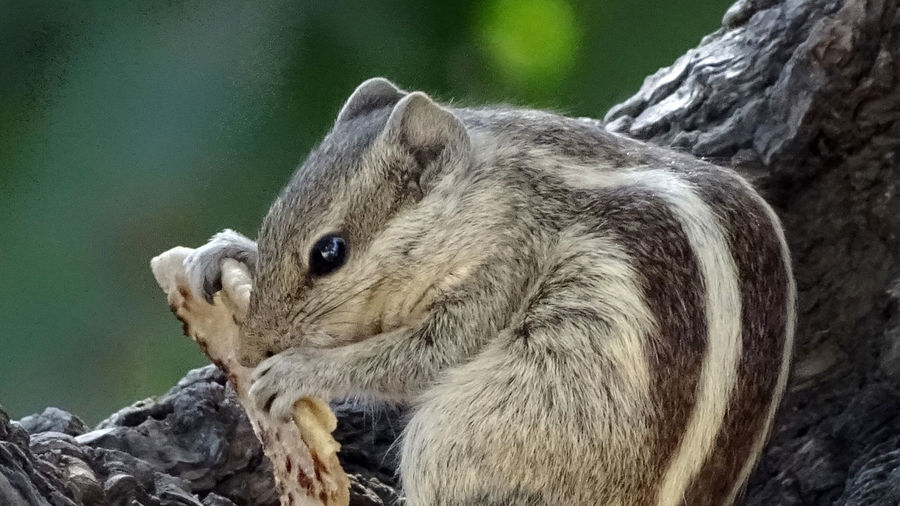 Squirrels at Museum Animal Themes Animals In The Wild Day EyeEmNewHere Feeding Animals Grass Indian Squirrel Mammal Nature Nature Photography No People One Animal Outdoors Rakeshtiwari Squirrel Squirrel Closeup Tree Trunk Wildlife Wildlife & Nature Wildlife Photography
