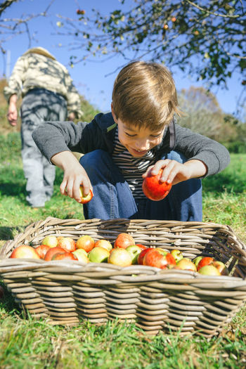 Boy Picking Apple From Basket On Field During Sunny Day