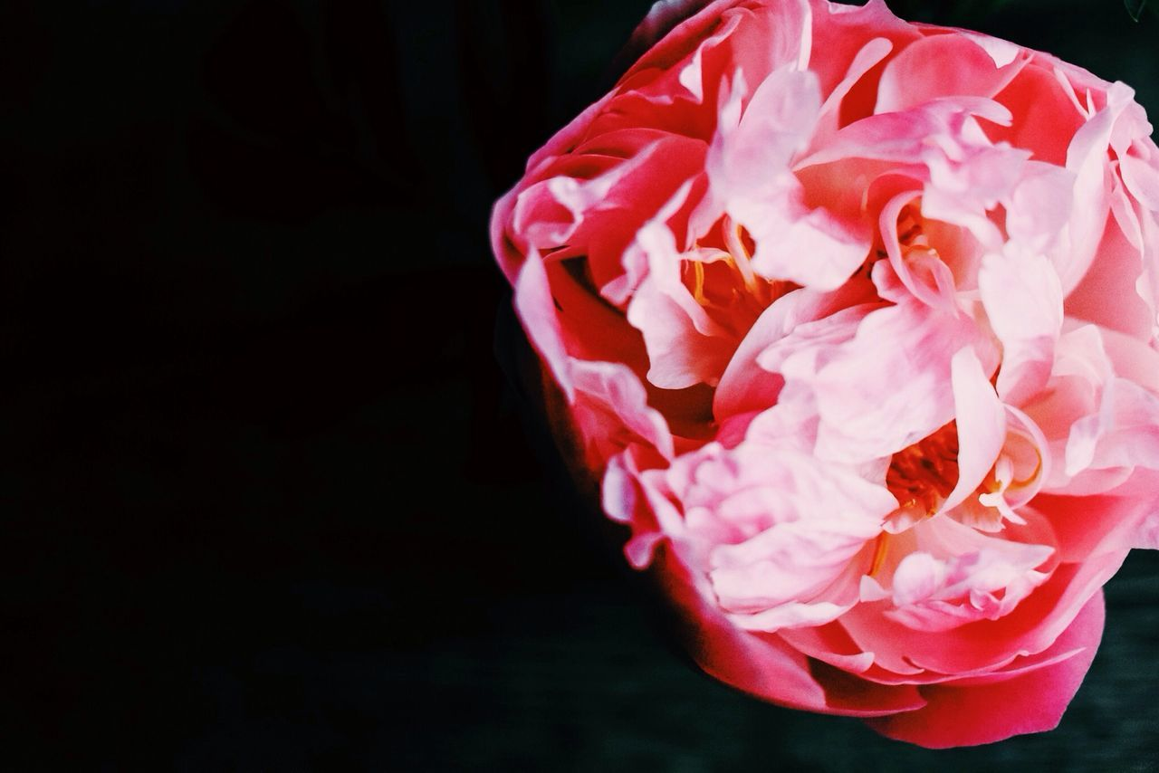 High angle view of pink flower over black background
