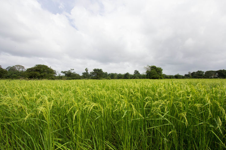 Agriculture Beauty In Nature Cereal Plant Cloud - Sky Crop  Day Farm Field Freshness Green Color Growth Landscape Nature No People Outdoors Rice Rice Paddy Rural Scene Scenics Sky Tranquil Scene Tranquility Tree Wheat
