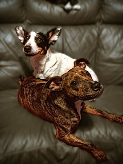 High angle view of dogs sitting on sofa at home