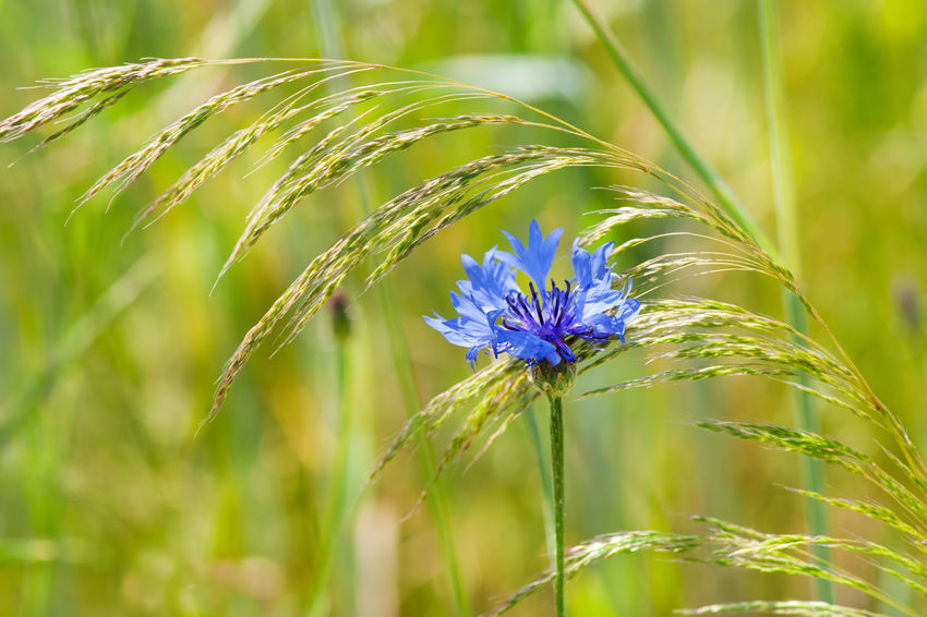 Centaurea cyanus or Cornflower with blue petals and grass ear on meadow, flowerhead detail and green background defocused. Photo taken in Poland, summertime. Bachelor Bachelors Bachelors Button Bloom Blooming Blue BlueBottle Boutonniere Centaurea Cyanus Cornflower Cyani Flower Cyanus Flower Flower Head Flowerhead Grass Growing Hurtsickle Inflorescence Nature No People One Plant Weed