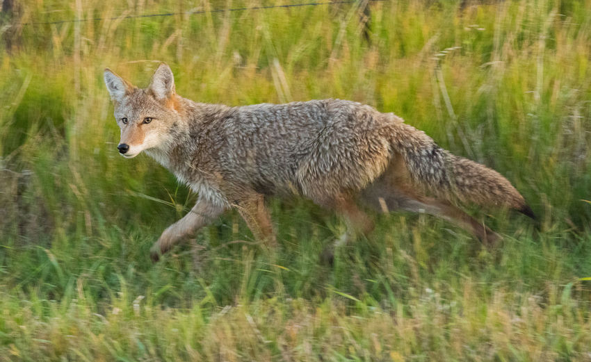 Sep 2018 - Early Morning Hunter Animal Wildlife Animals In The Wild Back Lit Coyote Day Early Morning Full Length Grass Land Mammal Motion Nature No People One Animal Outdoors Profile View Running Side View Vertebrate