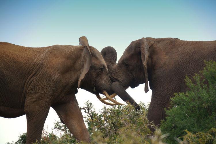 Elephants fighting on field against clear sky