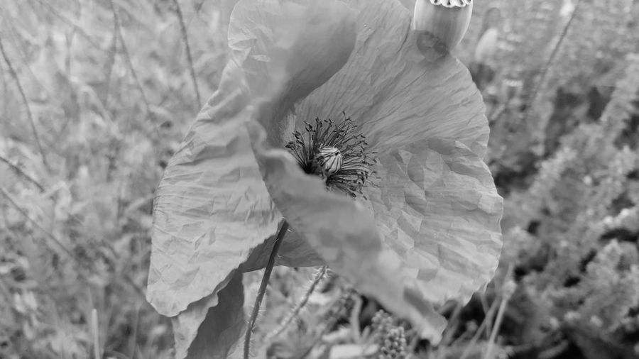 Close-up On Tour Blossom Flower Mourning Card Outdoors Poppy Flowers Poppy Focus On Foreground Flower Head PoppySeed Evanescence Wildflower Fragility Freshness Beauty In Nature Art Photgraphy Art Photo Growth Things Around Me Art Is Everywhere Personal Perspective Card Design Textured  Textured