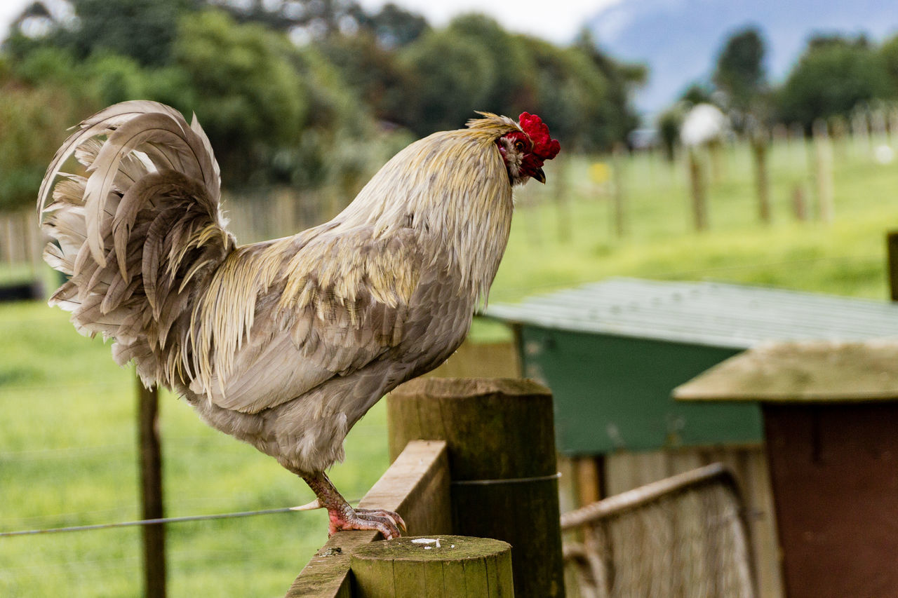 chicken - bird, livestock, rooster, focus on foreground, bird, animal themes, domestic animals, one animal, outdoors, field, no people, day, agriculture, nature, cockerel, close-up