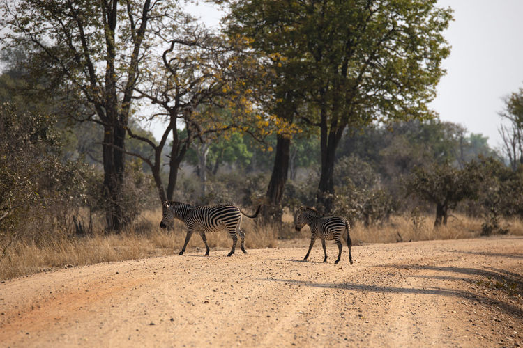 View of a zebra walking on road