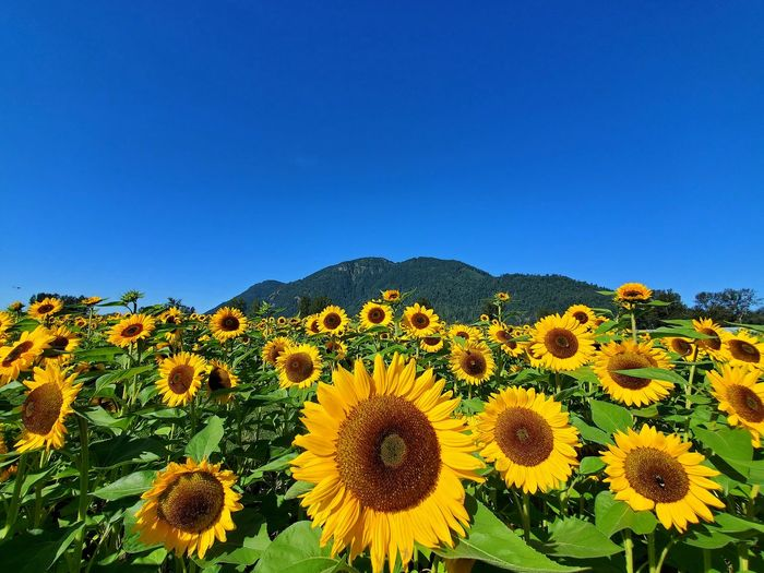 Scenic view of sunflower field against clear blue sky