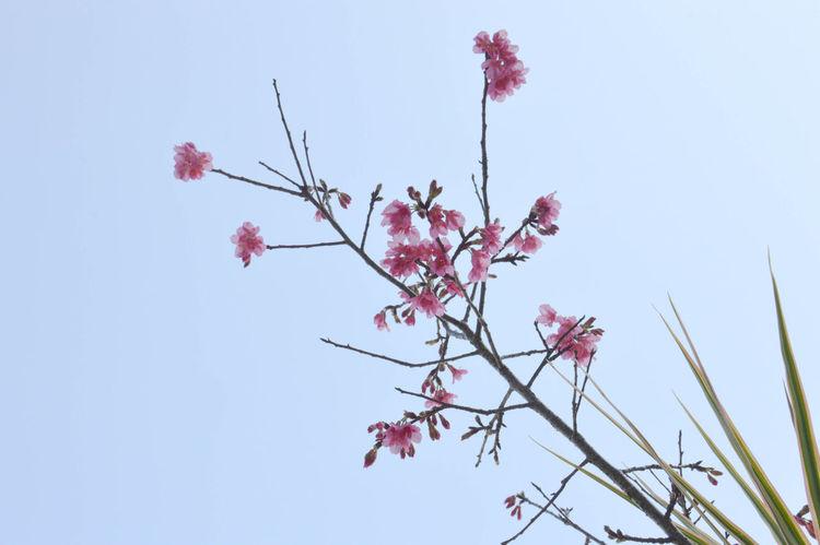 田中尋櫻 Beautiful SAKURA 2 . Use Nikon D3200.Relaxing Enjoying Life Winze's Life Flowers