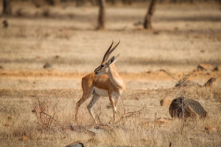 Gazelle standing on grassy field