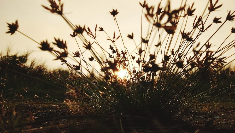Grass Eyeem Natur Lover Sunlight Sunrise Shillouet Grass Wildgrass Morning Sunset Nature Growth Silhouette Beauty In Nature No People Plant