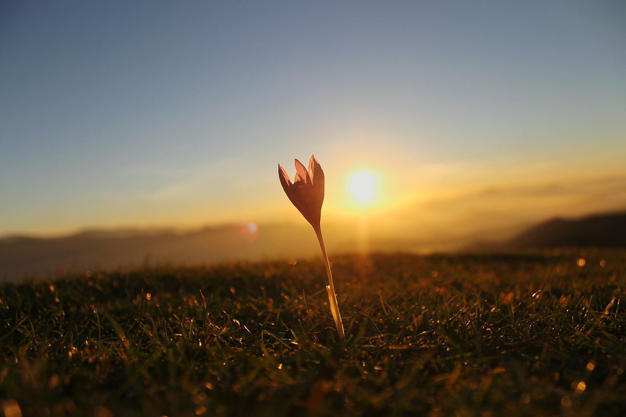 nature, sunset, growth, beauty in nature, flower, plant, fragility, field, outdoors, close-up, freshness, petal, flower head, no people, grass, day, sky, crocus