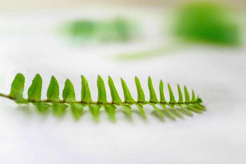 Closeup and selective focus of Fern leaf against white background. Abstract Background Beauty In Nature Botany Close-up Copy Space. Environment Fern Focus On Foreground Foliage Fragility Freshness Gardening Green Color Growth Leaf Nature No People Pattern Plant Plant Part Selective Focus Stem White Background White Color
