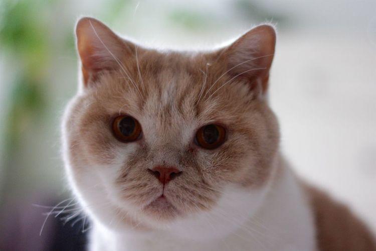 Close-up portrait of british shorthair cat