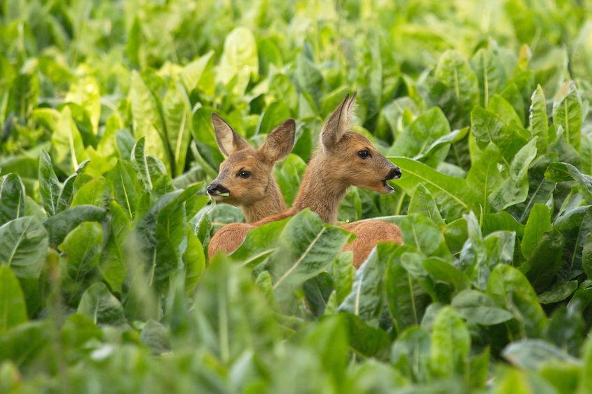 Animal Animal Themes Animal Wildlife Beauty In Nature Green Color Mammal Nature Outdoors Reekalf Roe Deer Cub Roe Deer Cubs Suikerbieten