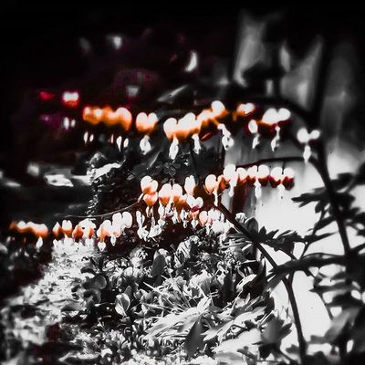 Obsessedwithorange Minx Flowers Bleedinghearts Camgirllife Art Artsnob Artist Nature Simple Blackandwhite Photograph