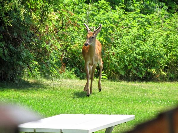 Young White-Tail buck in our backyard. Animal Themes One Animal Mammal Herbivorous Hoofed Mammal No People Animal Deer Whitetail Buck The Great Outdoors - 2017 EyeEm Awards