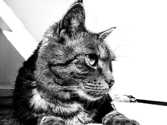 """Jack"" EyeEmNewHere Blackandwhite Black & White Pixelated Close-up Cat Domestic Cat Feline At Home Pets"