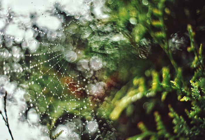 Web Nature Close-up Growth Beauty In Nature Drop Plant Green Color Outdoors Freshness Water After The Rain Rain Thuya ILCE7M2 SONY A7ii Zuiko