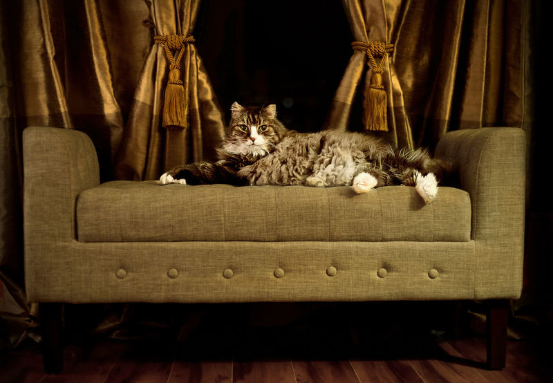 Maine coon cat Cat On Sofa Majestic Cat Cat Comfortable Domestic Animals Domestic Cat Feline Maine Coon Cat Pets