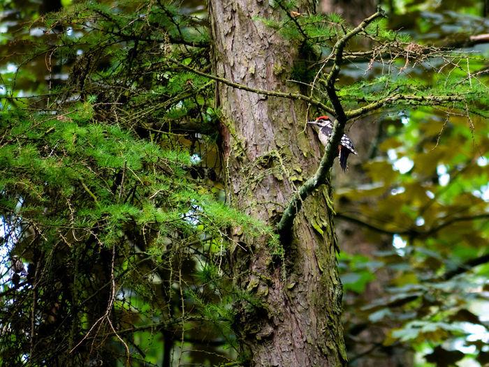 Woodpecker in