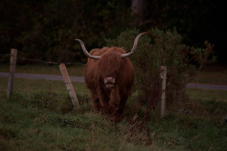 Animal Animal Themes Cattle Field Grass Highlands Of Scotland Horn Morning Nature No People Scotland Tree