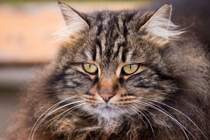 Extremely Fluffy Stray Cat Istanbul Sunlight Animal Themes Cat Cats Cat♡ Close-up Domestic Cat Eyes Feline Fluffy Focus On Foreground Headshot Kedi Looking At Camera Mammal Nature No People One Animal Outdoors Pets Portrait Stray Animal Stray Cat Whisker