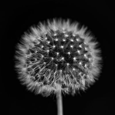 Dandelion Fragility Close-up Flower Vulnerability  Flowering Plant Freshness Plant Black Background Inflorescence Flower Head Beauty In Nature No People Growth Studio Shot Softness Nature Dandelion Seed Plant Stem Soft Focus