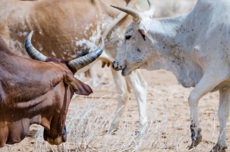 Group of cows in sahara desert, mauritania