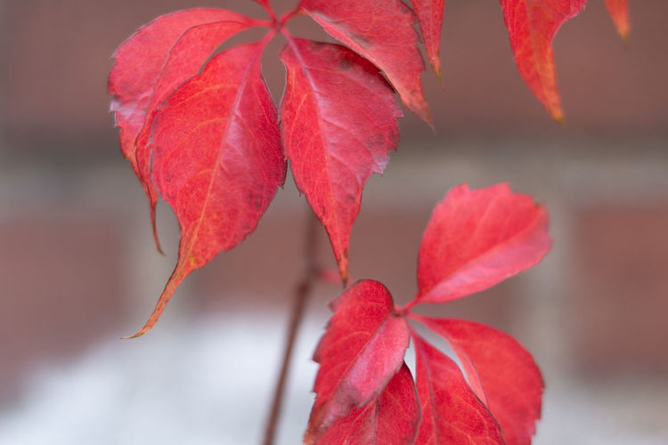 Red Close-up Plant Part Beauty In Nature Plant Leaf Focus On Foreground Vulnerability  Growth Fragility No People Autumn Freshness Nature Change Day Outdoors Petal Flower Flowering Plant Leaves Flower Head Maple Leaf Natural Condition EyeEmNewHere