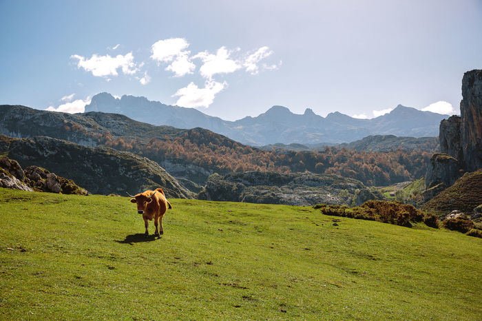 Cow on the grass in the mountains on a sunny day Horizontal Lake Paradise Vegetation Green Landscape Sky Scenery Mountain Lakeside Ecology Natural Grassland Field Valley Covadonga Asturias SPAIN Picos De Europa Enol Lake Ercina Lake Beautiful Cow Animal Mammal