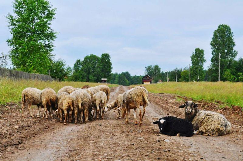 Овцы на дороге.